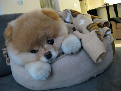boo_Pomeranian_Dog_28