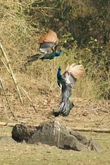 Male Peacocks Fighting ~ Nagarhole national park (LaylaLee) Tags: park india national gandhi karnataka rajiv