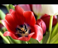 Tulips... (Gem Rees) Tags: blue red white black flower green up field d50 spring nikon close purple border stamen tulip depth stigma flowerpower fantasticflower
