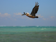 Pelican on its way to go fishing (dan007mnr) Tags: tulum mexicotulum dreamsresortandspa