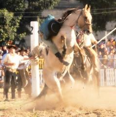 El bayo probador (Eduardo Amorim) Tags: horses horse southamerica caballo uruguay cheval caballos cavalos prado montevideo pferde cavalli cavallo cavalo gauchos pferd hest hevonen chevaux gaucho  amricadosul montevidu hst uruguai gacho  amriquedusud  gachos  sudamrica suramrica amricadelsur  sdamerika jineteada   americadelsud gineteada  americameridionale semanacriolla semanacriolladelprado eduardoamorim iayayam yamaiay semanacriolladelprado2010