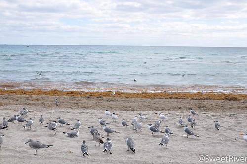Hollywood沙滩海鸥