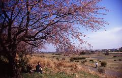 Sakura Season (mrhayata) Tags: sky japan river cherry geotagged tokyo blog spring riverside blossom tama sakura zeissikon dike embankment setagaya rvp noge icarex mrhayata geo:lon=139641261 geo:lat=35600959