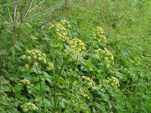 Alexanders (Smyrnium olusatrum) by Peter Orchard