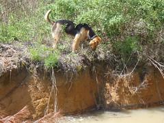 Brown Dog hunting snake (faul) Tags: georgia snake browndog yellowdog copperhead lowndescounty agkistrodoncontortrix gretchenquarterman johnsquarterman 2april2011