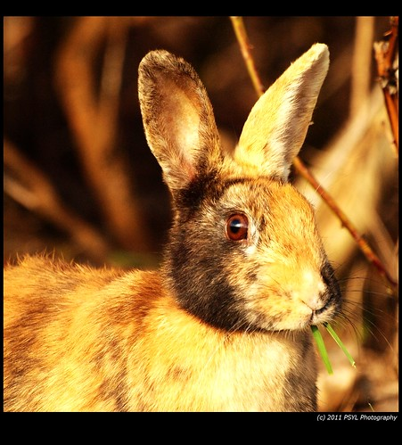 Feral Rabbit