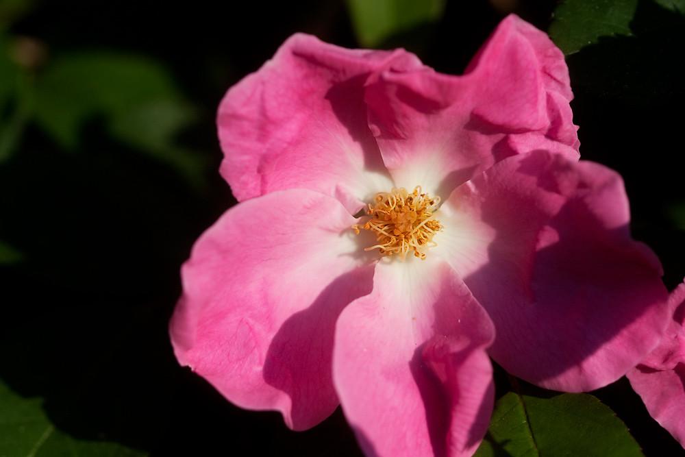 Macro 1/30:  Rose