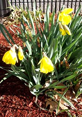 Daffodils_office_4611b