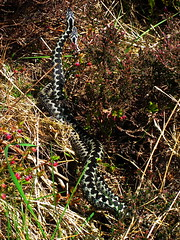 Dance of the adders (D. Kane) Tags: male nature grass animal animals silver photography blackwhite fight natural reptile snake heather daniel scales mating males kane combat habitat adder adders behaviour vipera berus ectothermic danceoftheadders ritualised