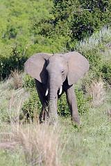 Elephant, Ruaha National Park