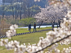 Two people who stroll in cherry blossoms in river area