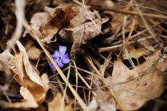 peek (hexapetala) Tags: flower purple deadleaves vinca utata:project=tw2