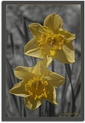 Narcissus pseudonarcissus (kike.matas) Tags: flores nature canon sigma amarillo andorra narcisos andorre narcissuspseudonarcissus kartpostal bej canoneos50d worldbest principatdandorra  kikematas sigma2470f28ifexdghsm pse8 fleursetpaysages