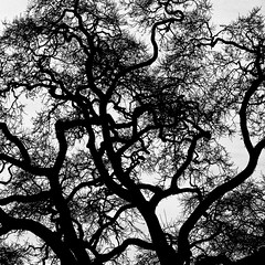 Every Which Way But Loose (Thomas Hawk) Tags: california bw usa tree silhouette america unitedstates 10 unitedstatesofamerica danville eastbay fav10 natureshand