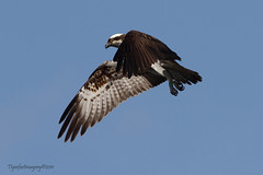 7Y 1 (Ross Forsyth - tigerfastimagery) Tags: scotland wings wildlife perthshire raptor osprey birdofprey hovering swt talons lochofthelowes 7y