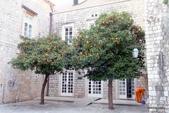 Dubrovnik: Farbtupfer (HITSCHKO) Tags: unesco dubrovnik baum adria weltkulturerbe kroatien einzelbaum perlederadria laubbaum solitrbaum dalmatinischekste kroatischesathen dubrovako
