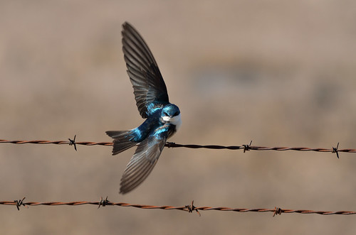 Tree Swallow on the Wing DSC_0115