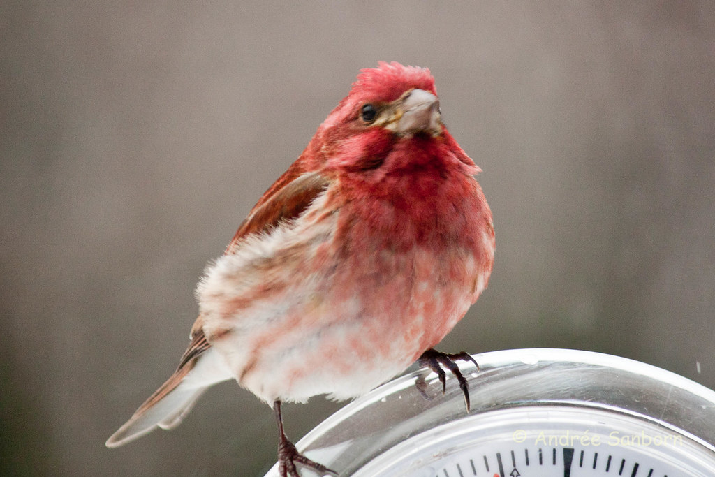 Purple Finch (Carpodacus purpureus) (7 of 8).jpg