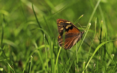 Common Brown : Always in the grass ... (Clement Tang ** busy **) Tags: autumn nature butterfly insect inflight afternoon wildlife australia victoria takeoff closetonature commonbrown familynymphalidae banksiapark heteronymphamerope concordians subfamilysatyrinae