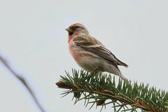 Redpoll. (stonefaction) Tags: nature birds scotland angus wildlife forfar loch lesser redpoll