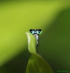 The Shy damsel........Senegal golden darlet (aroon_kalandy) Tags: light india macro green nature beautiful beauty photography lights asia artistic awesome shy kerala impressions lovely damselfly naturelovers calicut kozhikode beautifulshot sonydslra200 malayalikkoottam aroonkalandy tamronspaf90mmf28dimacrolens senegalgoldendarlet best4gpin