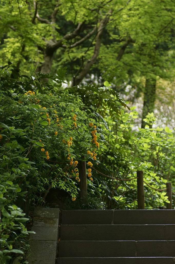Kerria japonica cv. Plena 1