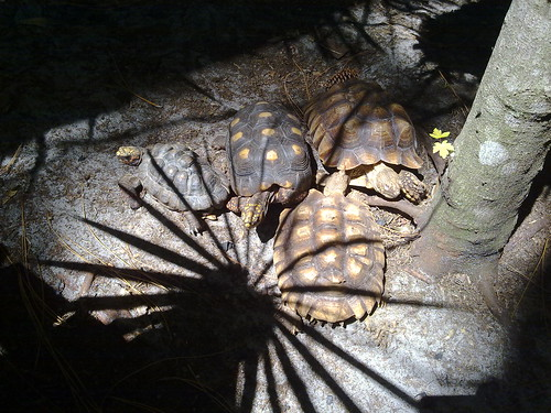 Tortoises at the Calusa Nature Center