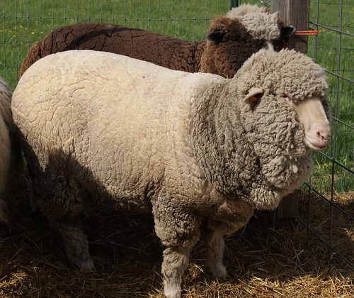 Shearing '11: Agnes Before!