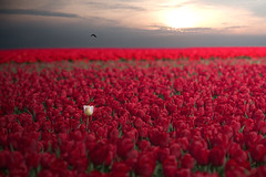 One in a million (Mighty Maik) Tags: flowers red white flower holland bird netherlands dutch landscape photography one 1 photo tulips you youre frontpage rood wit bloemen flevoland bollen tulipa emmeloord landschap witte tulpen rode tulp billion bollenveld tulpenveld 2011 explored espel miljard explored1 tulpenfestival wwwtulpenfestivalnl mightymaik maikkeizer
