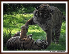 Bengal Indian Tigers Having Some Fun. (::BLewis-Photography::) Tags: uk zoo tiger howlets flickrbigcats fujifinepixs1730 bengalindiantiger