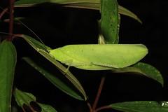 Hapalophyllum vrazi ?
