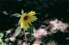 Sunflower (KayleePenguin) Tags: flower film minolta sunflower thelanguageofflowers