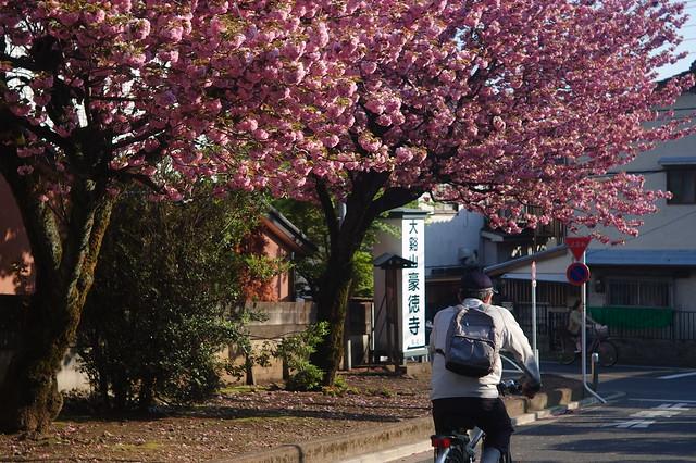 参道の八重桜