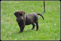 Puppy 2 (Event Essentials Photography & Decor) Tags: ontario puppy puppies nikon lab chocolate chocolatelab pup trenton quinte ontariocanada d90 quintewest nikond90 trentonontario quintewestontario