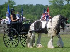 (The Pelton Vanners Gypsy Vanner Horses) Tags: horse gypsy gypsyvanner gypsycob
