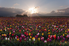 Celestial Tulips (Dan Sherman) Tags: flowers sky sun color clouds oregon sunrise spring tulips tulip pacificnorthwest tulipfield tulipfestival mtangel cloudburst sunstar flowerfield tulipfields fieldofflowers pacificnorthwestsunrise woodburntulipfestival woodburnoregon oregonlandscape dansherman tulipgardens oregonsunrise mtangelwoodenshoetulipfestival woodenshoetuilpfestival pacificnorthwestphotography mtangeloregon oregonphotography danielsherman tulipssunrise mtangeltulipfestival woodburnoregontulipfestival danshermanphotography danshermanphotographycom danielshermanphotography danshermanphoto