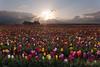 Celestial Tulips (Dan Sherman) Tags: flowers sky sun color clouds oregon sunrise spring tulips tulip pacificnorthwest tulipfield tulipfestival mtangel cloudburst sunstar flowerfield tulipfields fieldofflowers pacificnorthwestsunrise woodburntulipfestival woodburnoregon oregonlandscape dansherman tulipgardens oregonsunrise mtangelwoodenshoetulipfestival woodenshoetuilpfestival pacificnorthwestphotography mtangeloregon oregonphotography danielsherman tulipssunrise mtangeltulipfestival woodburnoregontulipfestival danshermanphotography danshermanphotographycom danielshermanphotography danshermanphoto