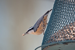 D7001-2056 (westernmaine) Tags: nuthatch redbreasted