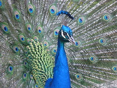 Pavo cristatus (janisjoplin17) Tags: real indian aves bleu animales peafowl blauer pjaro pavo pavone paon pfau comune