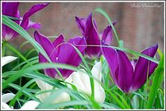 Tulipes (Barbara DALMAZZO-TEMPEL) Tags: france tulip lille ville nord 59 tulipe tulp