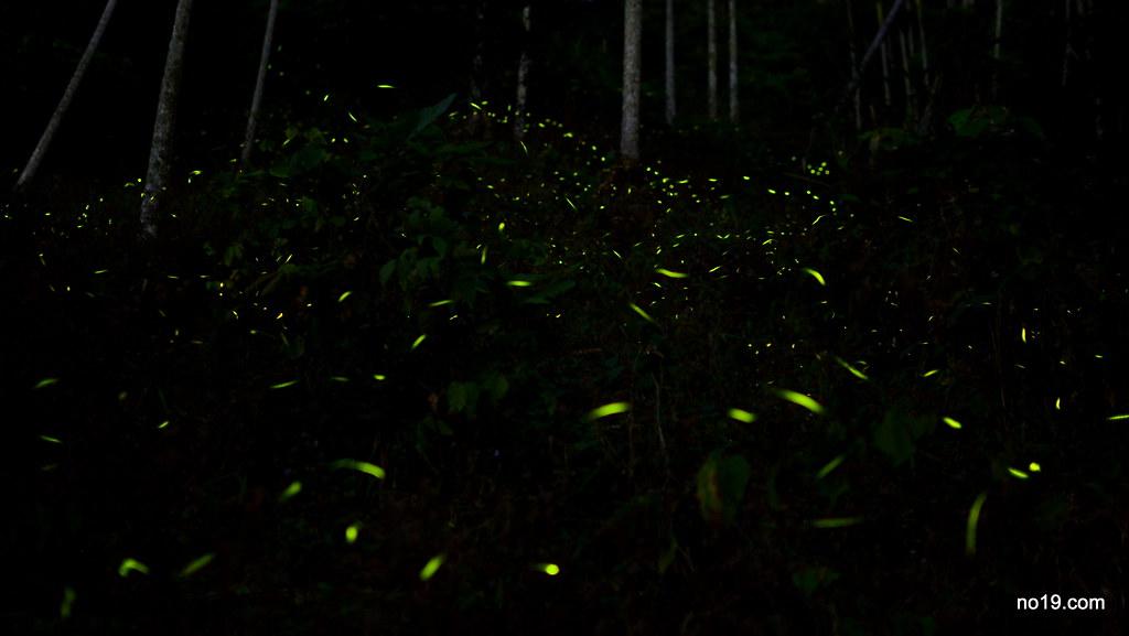 螢火蟲 - DSC_1513