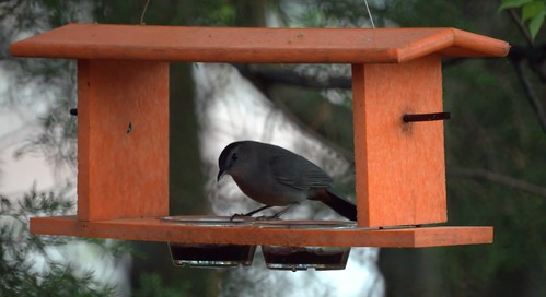 Catbird at the Jelly Feeder