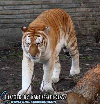 Golden-Tabby-Tiger