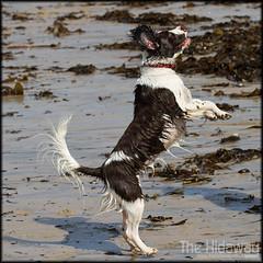 I want it! (Simon Bone Photography) Tags: dog pet seaweed jump jumping bigma bitch springer springerspaniel bella k9 liverandwhite sigma50500mm wwwthehidawaycouk canoneos7d