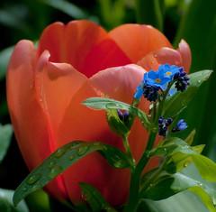 3-May Flowers- Q.E. Park (iano50) Tags: flowers vancouverbc queenelizabethpark vancouverparks top20blue freenature nikond300 vancouverflowergardens