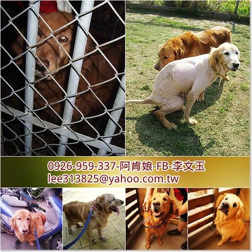 「支援助認養」桃園從各地收容所救出4隻黃金獵犬小姐~需要醫療資源,也徵助認養喔~謝謝您!20110504