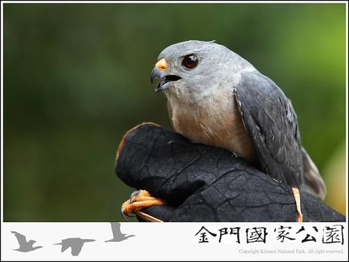 赤腹鷹救傷-03.jpg