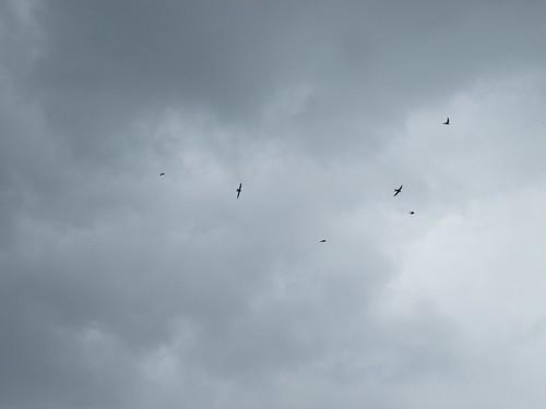 dancing swallows