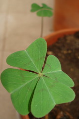 5ª FLOWER - Trevo de quatro folhas - Desejo sorte para todos!!!