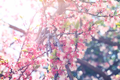 May Fifth. (redaleka) Tags: birthday pink flowers light summer sun white nature colors liberty happy spring shine power bright blossom bokeh branches 55 permission mayfifth threehundredsixty